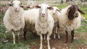 Mercado mundial de vacunas contra la viruela ovina y caprina